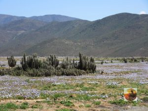Pta.Choros, Chile 2015-2